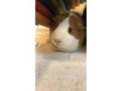 Adopt Daisy - Companion To Roxy a Guinea Pig small animal in Stratham