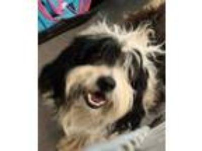 Adopt a Black - with White Bearded Collie / Mixed dog in Hesperia, CA (25325536)