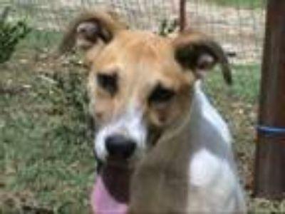 Adopt AA-Parker a Australian Cattle Dog / Blue Heeler