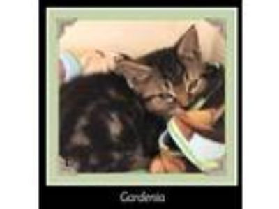Adopt Gardeia a Domestic Short Hair