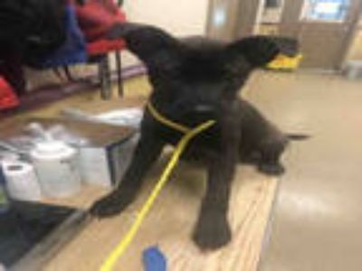 Adopt CRICKET a Black Labrador Retriever / Chow Chow / Mixed dog in Plano