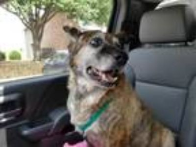 Adopt CINNABON a Brindle - with White German Shepherd Dog / Boxer / Mixed dog in