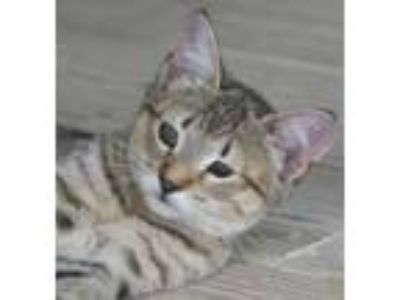 Adopt Sasha a Domestic Shorthair / Mixed (short coat) cat in North Fort Myers
