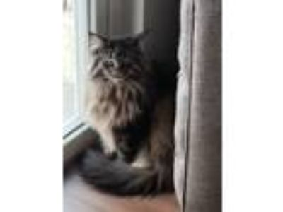 Adopt Paqi a Brown or Chocolate (Mostly) Maine Coon cat in Maple Grove