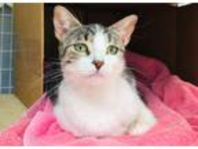Adopt Willow a Gray or Blue Domestic Shorthair / Mixed (medium coat) cat in