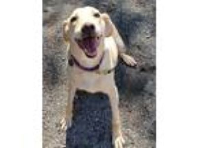 Adopt Sunshine a Tan/Yellow/Fawn Retriever (Unknown Type) / Mixed dog in Spring