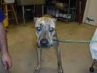Adopt BEAN a Brindle - with White Greyhound / Mixed dog in Sanford