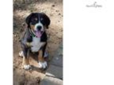 CH Sire Greater Swiss Mountain Dog Puppies