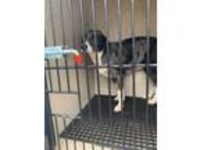 Adopt Lindy a Australian Shepherd, Mixed Breed