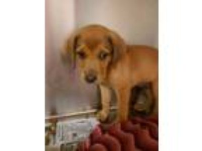 Adopt Oberyn a Brown/Chocolate Hound (Unknown Type) / Mixed dog in Louisburg