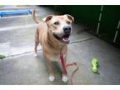 Adopt Peanut a Tan/Yellow/Fawn Labrador Retriever / Mixed dog in Elmsford