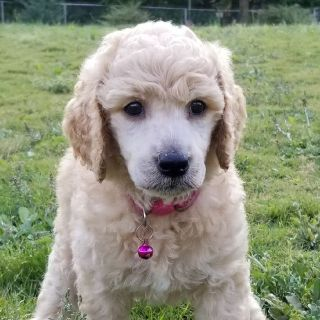 FEMALE Apricot Standard poodle puppy.