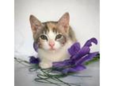 Adopt Miss Pickles a Calico or Dilute Calico Domestic Shorthair cat in