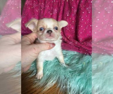 Chihuahua PUPPY FOR SALE ADN-127178 - Chihuahuas Blue Eye Longhair accept Zelle also