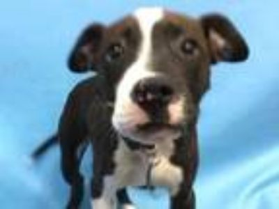 Adopt Princess a Black American Pit Bull Terrier / Mixed dog in Coon Rapids