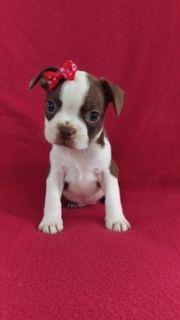 Boston Terrier PUPPY FOR SALE ADN-90186 - AKC Boston Terrier