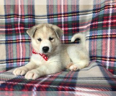 Labrador Retriever-Siberian Husky Mix PUPPY FOR SALE ADN-130493 - Charlie the Siberian Husky Labrador Mix
