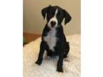 Adopt Belle a Black - with White Border Collie / Beagle / Mixed dog in