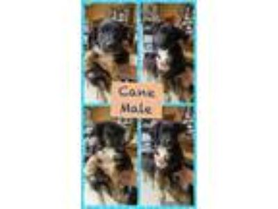 Adopt Cane a Black - with Tan, Yellow or Fawn Australian Shepherd / Beagle /