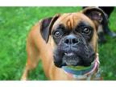 Adopt Danka a Brown/Chocolate Boxer / Mixed dog in Pittsfield, MA (25892550)