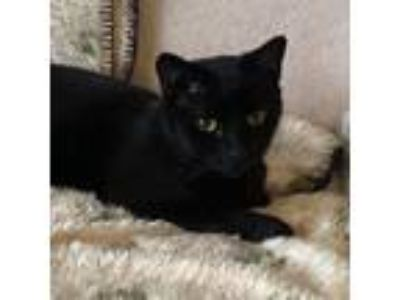 Adopt Noire a All Black Domestic Shorthair (short coat) cat in Fairfax
