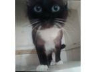 Adopt Blue a Brown or Chocolate Domestic Longhair / Mixed cat in Yucaipa