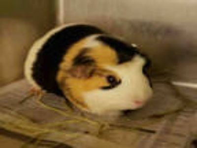 Adopt PIPER a Black Guinea Pig / Mixed small animal in Rockford, IL (25259148)