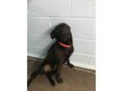 Adopt Rambo a Black Labrador Retriever / Mixed dog in Yadkinville, NC (25544772)