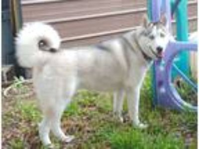 Adopt Toby a Brown/Chocolate - with White Siberian Husky / Mixed dog in Winter