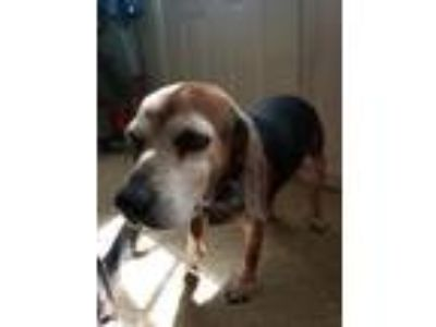 Adopt Jewel (Lil Bit) a Tricolor (Tan/Brown & Black & White) Beagle / Mixed dog