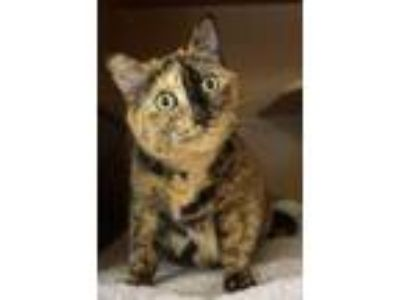 Adopt Henrietta a Siamese, Domestic Short Hair