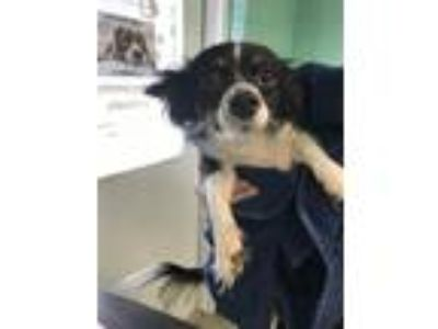 Adopt Papoose a Papillon / Mixed dog in Birdsboro, PA (25838416)