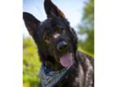 Adopt Clyde a German Shepherd Dog