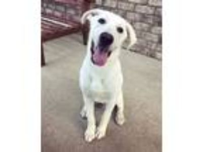 Adopt Powder a Labrador Retriever, Hound