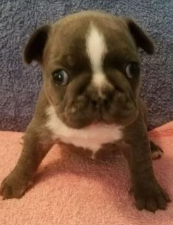 French Bulldog PUPPY FOR SALE ADN-75895 - Blue Brindle Frenchie Waiting for Furever Family