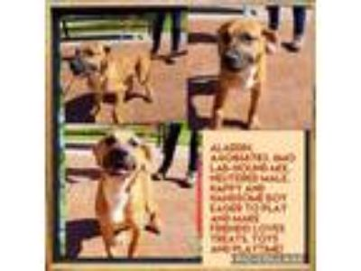 Adopt Yogi a Brown/Chocolate Black Mouth Cur / Hound (Unknown Type) / Mixed dog