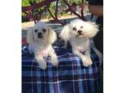 Adopt Lucky and Hope a White Toy Poodle / Mixed dog in Temecula, CA (23759540)