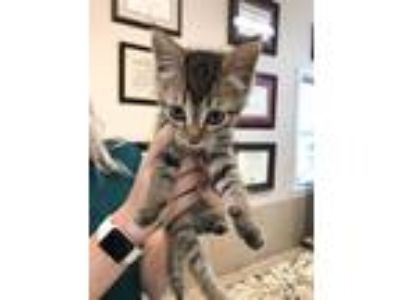 Adopt KITTEN Galadriel a Gray, Blue or Silver Tabby Domestic Shorthair (short