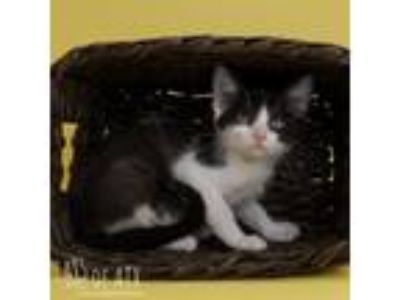 Adopt Dot 19-05-078_7 a White Domestic Shorthair cat in Bastrop, TX (25936639)