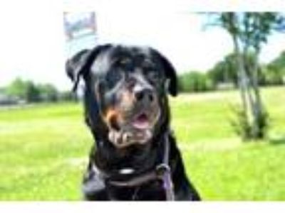 Adopt Jazz a Black Rottweiler / Mixed dog in New Orleans, LA (25117485)