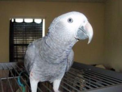 African grey parrots .