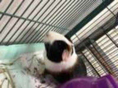 Adopt WALTER a White Guinea Pig / Guinea Pig / Mixed small animal in Houston