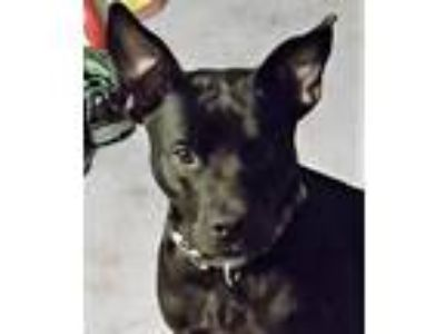 Adopt DUKE a Black Labrador Retriever / Cattle Dog / Mixed dog in Point