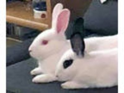 Adopt Bijou and Faux (Courtesy Post) a Bunny Rabbit