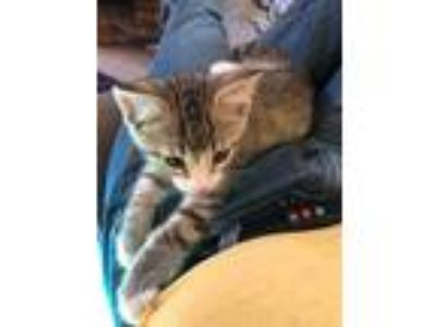 Adopt Mischief a Gray, Blue or Silver Tabby Domestic Shorthair (short coat) cat