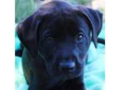 Adopt Malcom a Black Labrador Retriever / American Pit Bull Terrier / Mixed dog