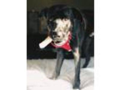 Adopt Fury a Black German Shepherd Dog / Labrador Retriever / Mixed dog in