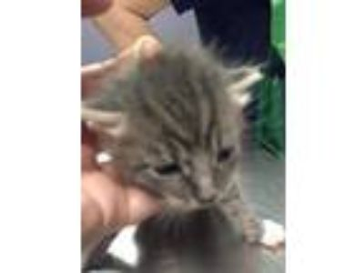 Adopt Diego a Gray or Blue Domestic Shorthair / Domestic Shorthair / Mixed cat