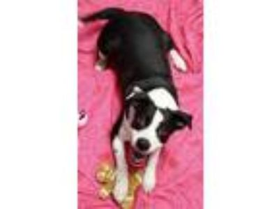 Adopt Willow a Black American Pit Bull Terrier / Boston Terrier / Mixed dog in
