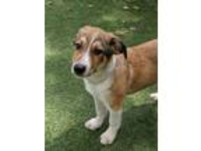 Adopt Slick a Great Pyrenees, Collie